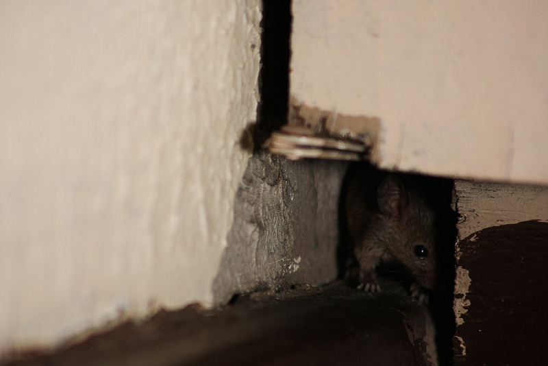 A tiny lurker peers out of his hole in the wall of our hotel room to check for predators before venturing forth.  Clearly this route is not safe at the moment! :D