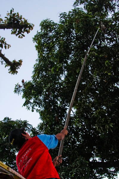 A long stick with a small net at the end is the tool of choice for harvesting green mangoes from the high branches of the trees.
