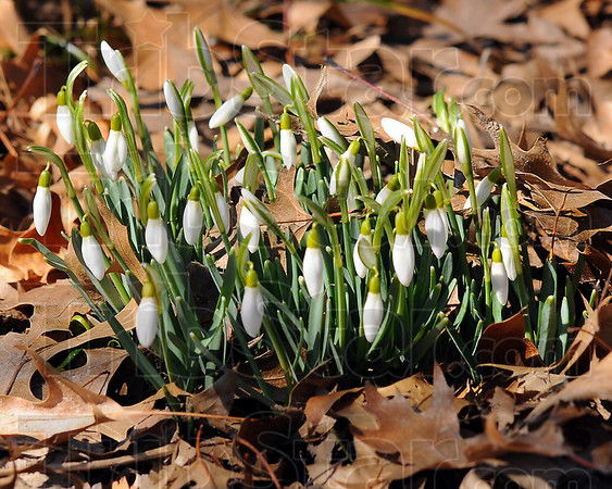 Harbinger: Snowdrops push through oak leaf litter to catch the warming rays of a March sun. More colorful crocuses and daffodils are sure to follow.