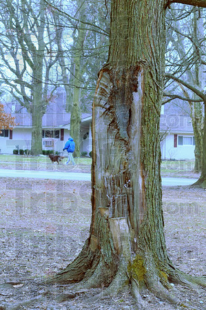 Aging: A maple tree with half its trunk shorn off stands in the median of Ohio Boulevard a block east of Brown Avenue.