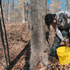 Tribune-Star/Joseph C. Garza<br /> From bucket to bucket: Nik Ramie of Crawfordsville fills a yellow bucket with maple tree sap on property owned by Archie Foxworthy March 4 near Turkey Run State Park in Parke County.