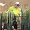 Tribune-Star/Joseph C. Garza<br /> Soon to bloom: Vick Mullen of Vectren prepares an order of daffodils as he volunteers his time for the American Cancer Society's Daffodil Days Monday at the Wabash Valley Fairgrounds. The organization has a goal of $53,000 for the fundraiser. Walk-in orders for the fresh daffodils from Washington state will be accepted at the American Cancer Society's office at 705 South Putnam Street for the next two weeks. Ten dollars will buy a bunch and fifteen will buy flowers with a vase.