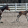Fun: A five-day-old colt frolics in the afternoon sun closely followed by its mother at St. Mary of the Woods Tuesay afternoon.