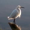 03-15-10 - LOTS of egrets.