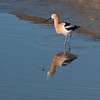 3-15-10 Avocet on Richardsons Bay along the bike path in Mill Valley