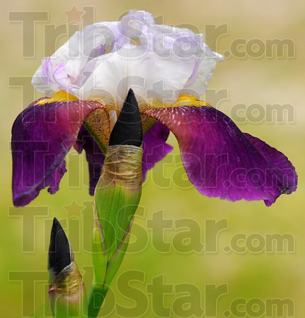 Color combination: Irises come in many color combinations including this yellow throated purple.