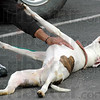 Oh yeah: An adult dog rolls over on its back and enjoys a tummy rub during Friday's adoption event at Pet Smart.