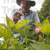 Tribune-Star/Joseph C. Garza<br /> Tea time: Herbalist Jerry Bollinger plucks a leaf from a monarda plant in his home garden in Coalmont Wednesday. Bollinger uses the plant leaves to brew what he calls Indian Tea.