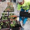 Tribune-Star/Joseph C. Garza<br /> Sharon Hartmann, secretary of the Vigo County fair board, prepares flowers for planting as part of the Duke Energy Global Service Event Wednesday at the Wabash Valley Fairgrounds.