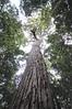 Tallowood Tree, Forest Dr, near Dorrigo