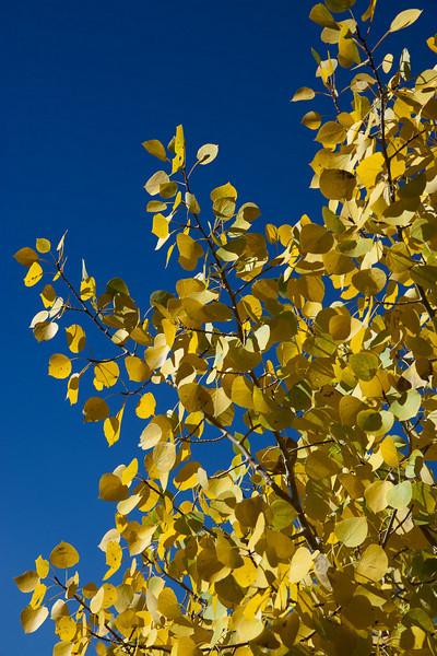 Aspens taking on fall colors