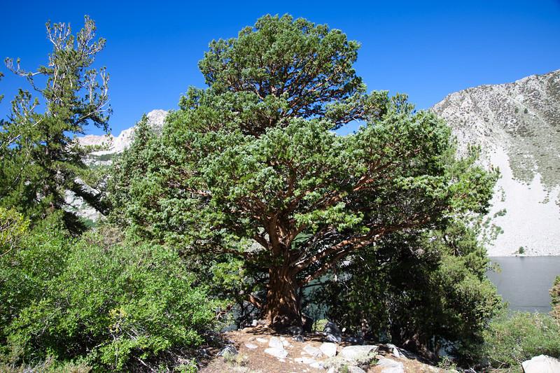 An impressive juniper tree