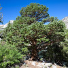 An impressive juniper tree