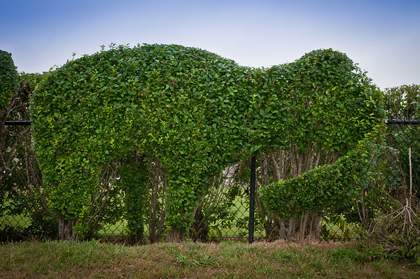 The gardeners carved neat shapes into the hedges outside of Cliff Walk