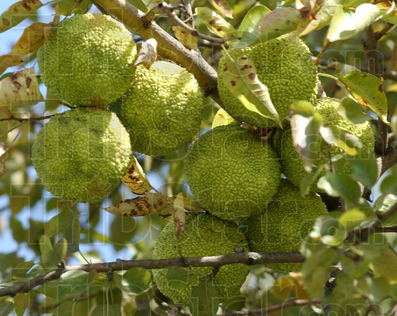 Hanging around: Hedge apples are the subject of Mike Lunsford's column this week.