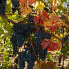10-25-10 Quarryhill Botanical Garden with AB: grapes waaayyy overdue to be picked