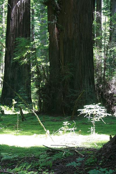 On the Rockefeller Loop Trail in Humboldt Redwoods State Park, California