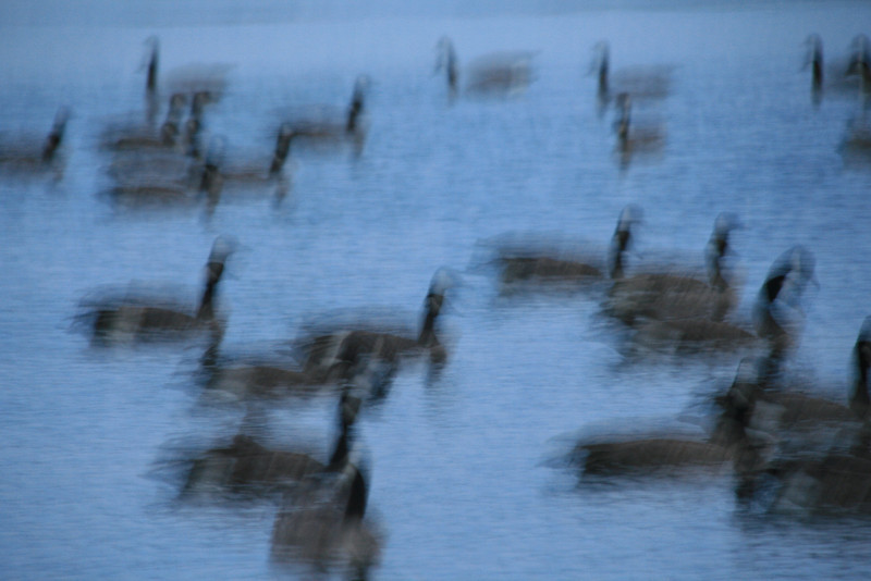 090-geese in motion