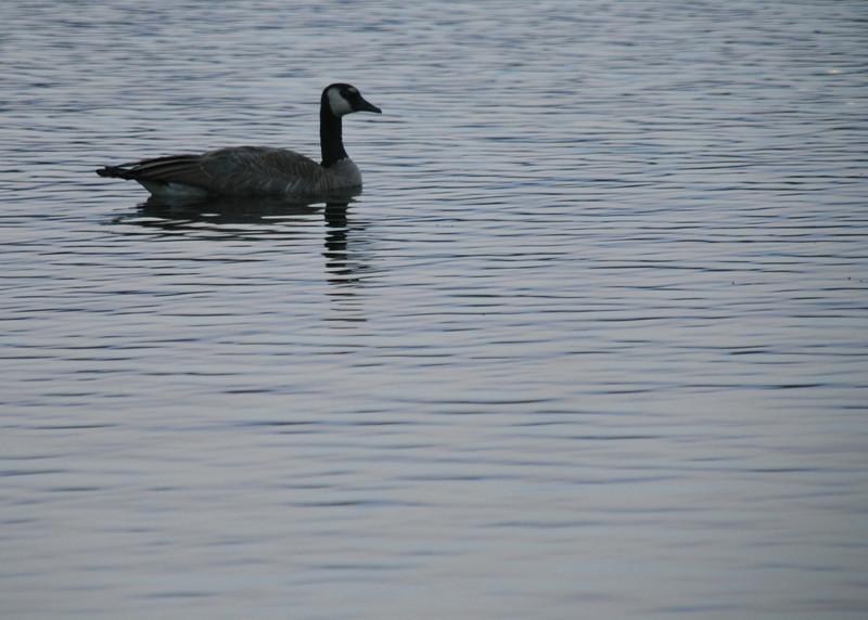078-goose on big meadow lake