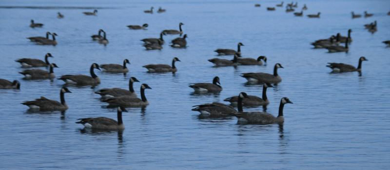 073-geese on big meadow lake