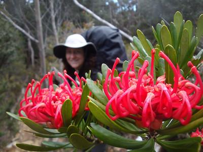 Tasmanian waratah JdeB