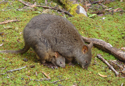 Pademelon & joey