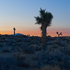 Joshua trees, shortly after sunrise.