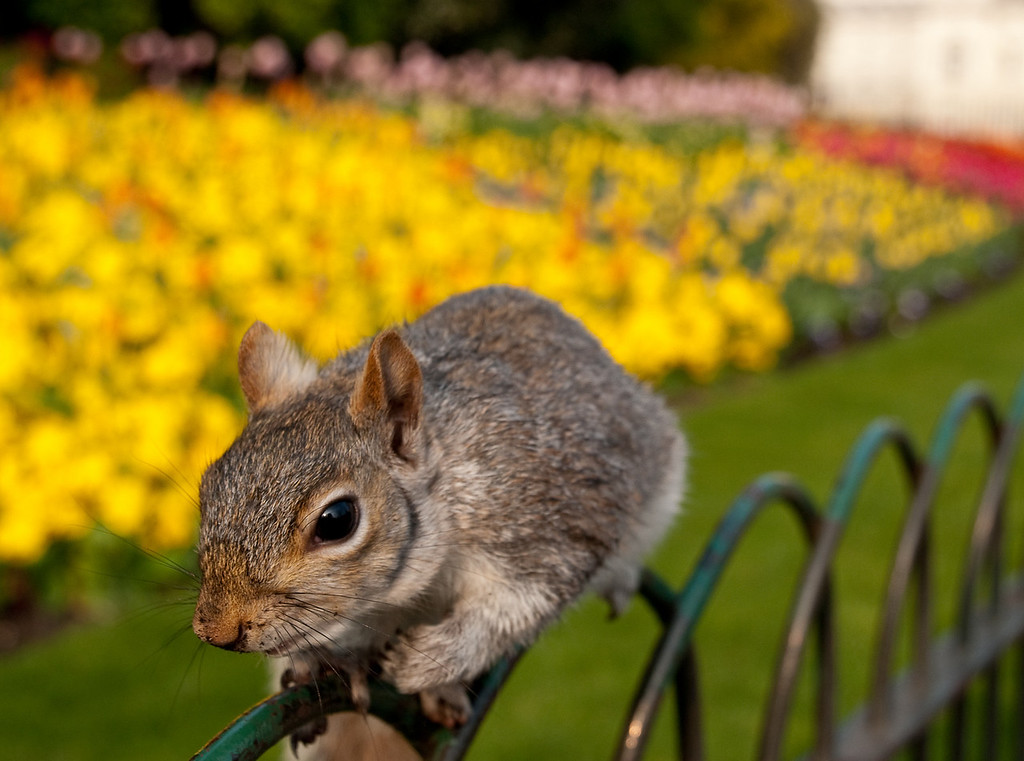 "St James's Park, London.  He was TAME - about 4"" from my lens."