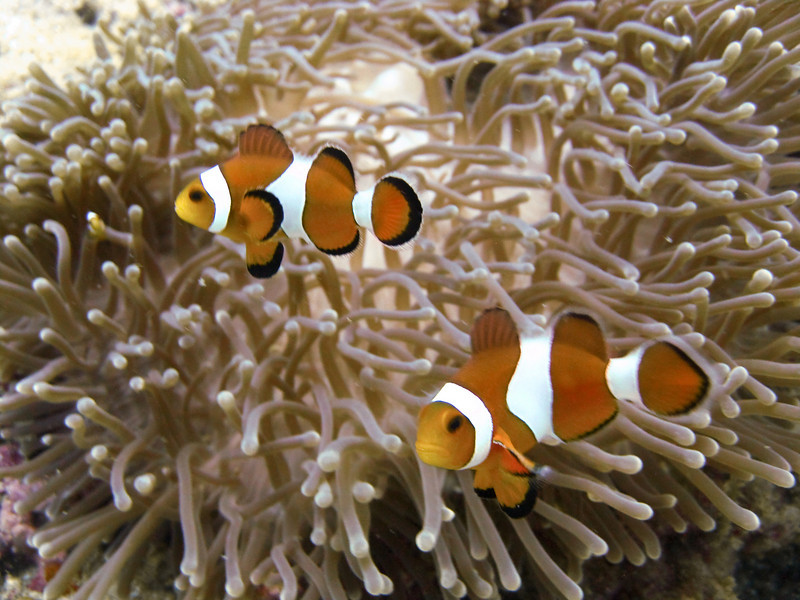 Clownfish dart among the fingers of an anemone, eying the camera suspiciously.
