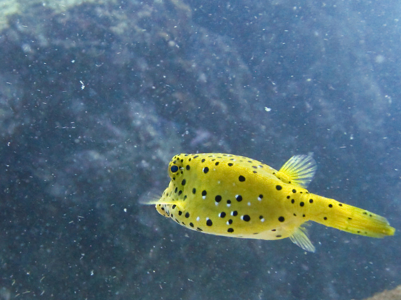 A small boxfish swims away upon approach, lending its speckled backside for the photo rather than showing its face.