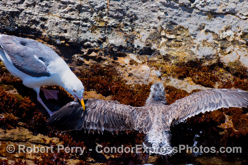 The attack sequence begins as an adult Western Gull (Larus occidentalis) grabs the juvenile by the wing in the intertidal zone.
