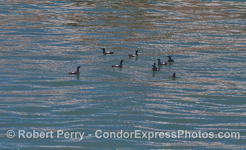 Nine Pigeon Guillemots (Cepphas columba) rafting just off the beach.
