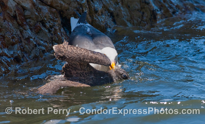 Here the adult Western Gull (Larus occidentalis) grabs the juvenile by the head and tries to drown it.