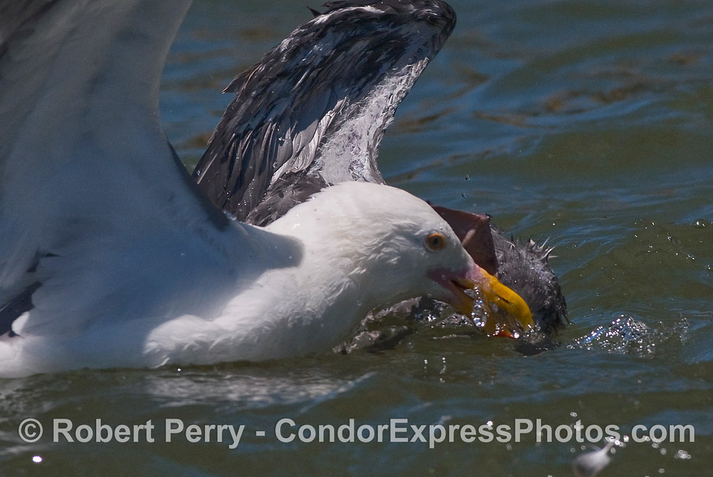 Close look at adult holding juvenile gull's head underwater.