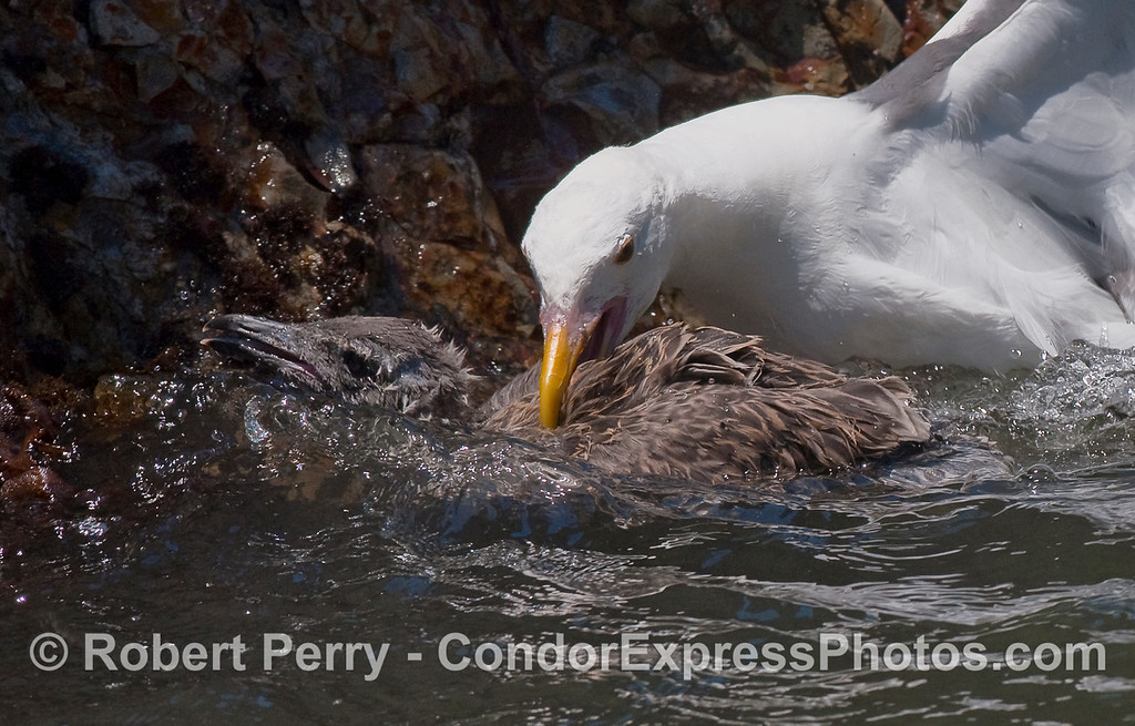 The attack continues as the adult repeatedly bites the young gull and tries to hold its head underwater.