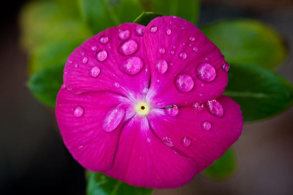 Pink flower with rain-drops from a rainy October day.