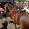 Grooming: Kim Secrist and Emily Lee work with a horse at the Peacefield Equine Sanctuary Saturday morning.