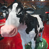 "Tribune-Star/Joseph C. Garza<br /> Udderly realistic: A cow that can be milked is part of the ""Follow Your Food"" exhibit at the new Terre Haute Children's Museum."