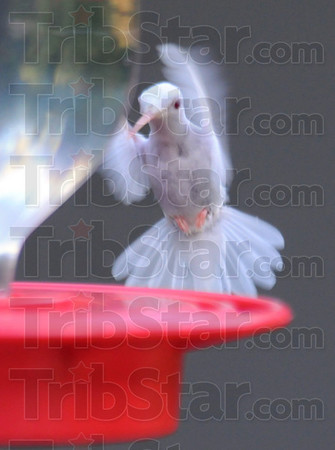 """True albino: There are two kinds of white hummingbirds, """"Leucistic"""" and albino. Only the true albinos have the light bill and feet/legs."""