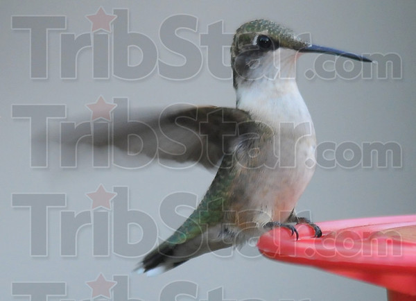 Ordinary beauty: A normally colored hummingbird lands at the Hursts' feeders Sunday evening.