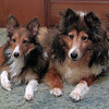 Peggy and Lily sable sheltie