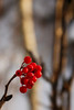 Bright berries decorate the bushes all over the frozen hillside.