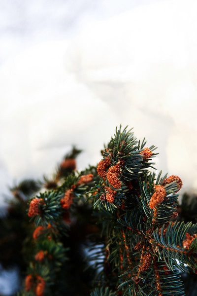 Snow weighs down the boughs of the spruce trees all around.