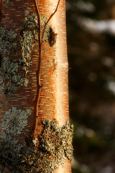 A small birch twig branches off its trunk and rises skyward in the afternoon light.