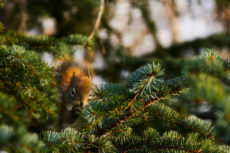 A small squirrel enjoys its never-ending snacking on spruce buds.