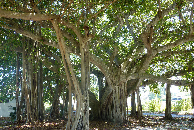 Banyan tree at the lighthouse grounds