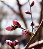 Cherry blossom buds on Longevity Hill