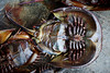 horseshoe crab cheung chau