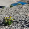 Alpine Gold on Mono Pass