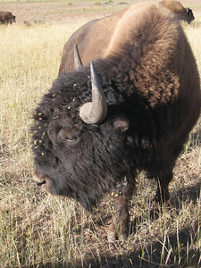 Buffalo, Zion Mountain Ranch